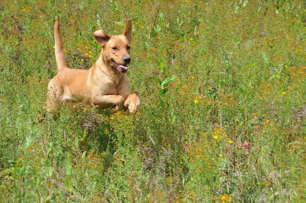 Dog jumping through long grass