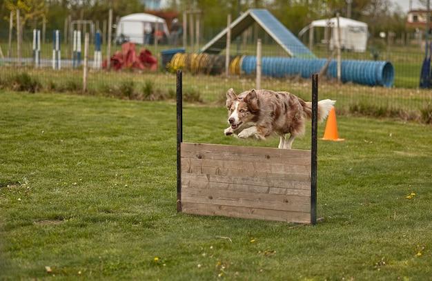 개 대회에서 개 점프.