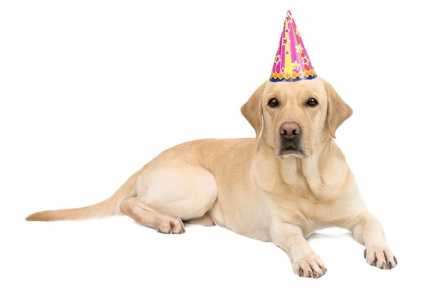 Dog labrador breed in a cap on a white isolated background