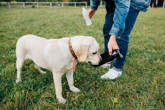 Dog labrador drinks water from drinkers