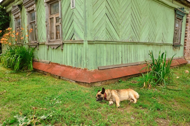 The dog lies on the grass near the house in the village