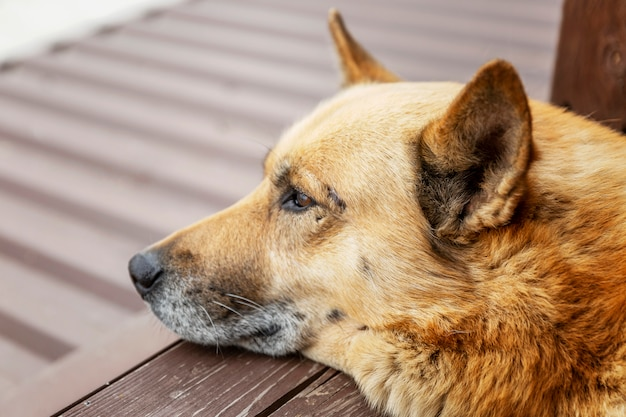 Dog lies and looks into the distance. love and tenderness. close-up.
