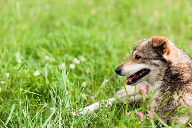 Собака лежит на траве с высунутым языком