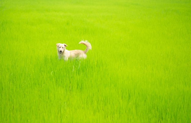 Dog looking something on greenery rice field.