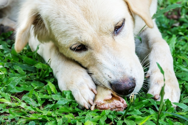 Dog lying on a grass and gnaw a bone