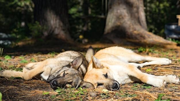 森の中で横たわっている犬。シベリアの秋。