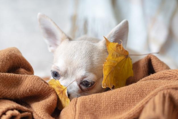 Собака лежит на пледе с опавшими листьями клена щенок чихуахуа греется под одеялом холодной осенью