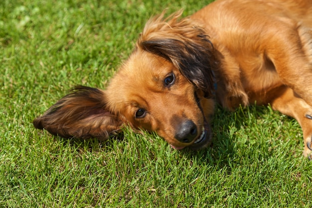 Собака, лежа на спине на зеленой траве, смешанный спаниель собаки спаниель