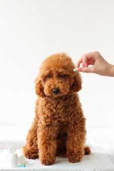 犬のミニチュアプードルに青い錠剤が1つ渡されます動物治療獣医
