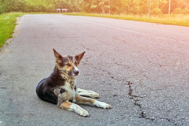Собака дворняга лежит на проезжей части шоссе рано утром в сельской местности.