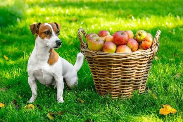 정원의 푸른 잔디에 사과가 든 바구니 옆에 있는 개