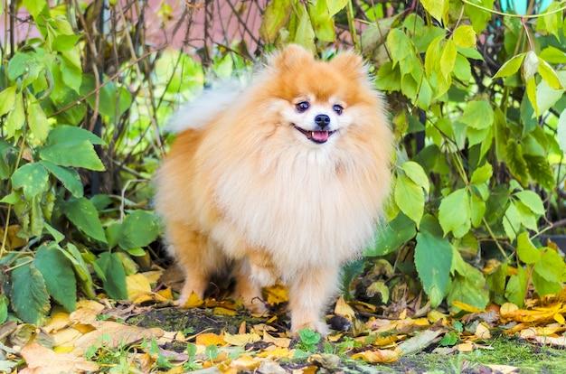 犬の服従、トレーニング。賢いポメラニアン。 spitzはコマンドを実行します。