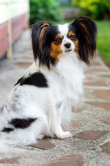 Собака породы папийон в саду
