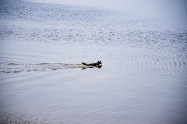 ハスキー犬が川沿いを泳ぎます。