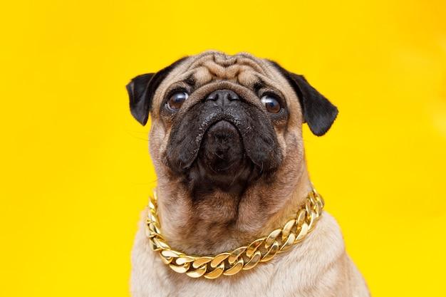 Собака породы мопс милая собака в золотой цепочке на желтом фоне