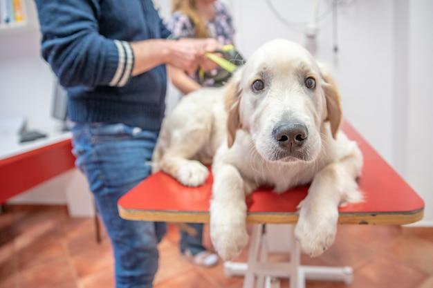 獣医診療所で検査中の犬。ゴールドretvier