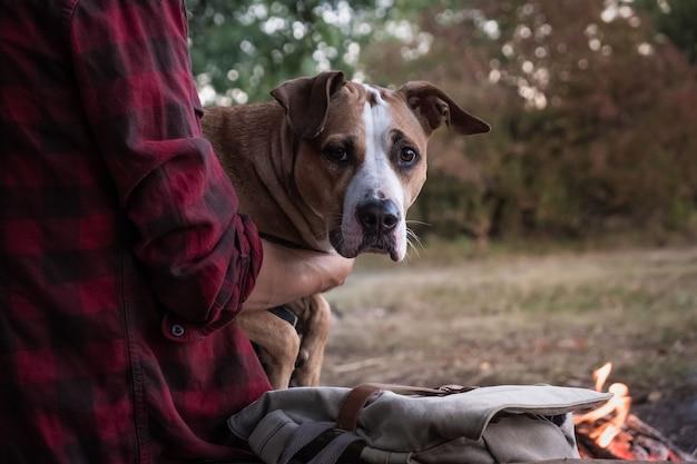男性ハイカーの手に犬。屋外のキャンプ場で所有者の膝の上に座って美しいピットブル犬の肖像