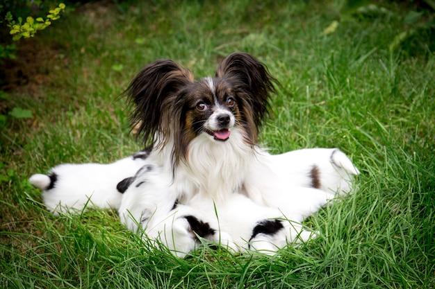 개 빠삐용 품종 정원에서 잔디에 앉아 강아지에게 먹이를