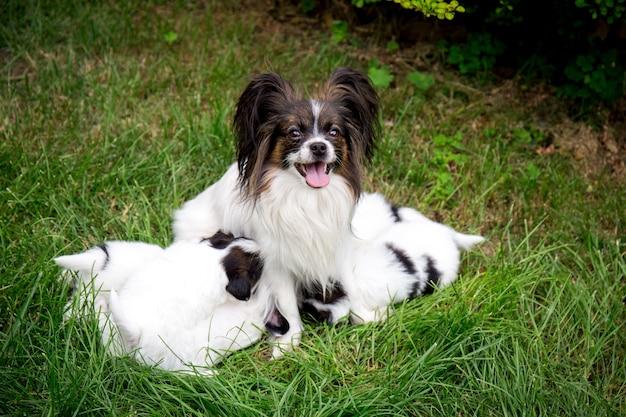 개 빠삐용 품종 정원에서 잔디에 앉아 강아지를 먹이