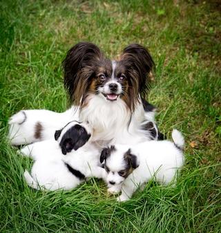 개 빠삐용 품종 정원에서 잔디에 앉아 강아지를 먹이 프리미엄 사진