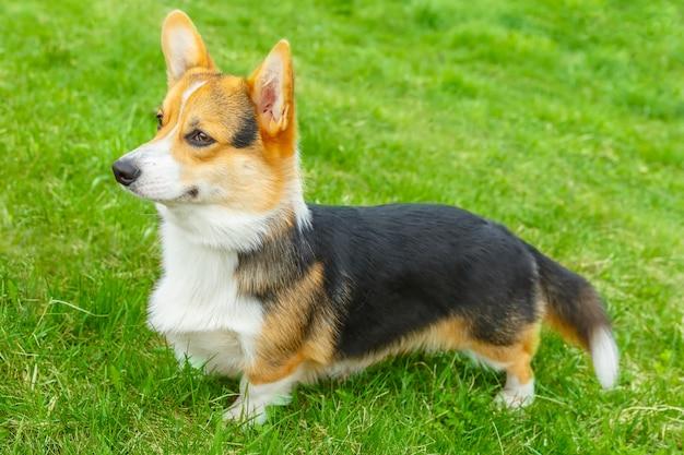 Собака пемброк вельш корги улыбается