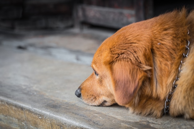 Dog pet depressive disorder