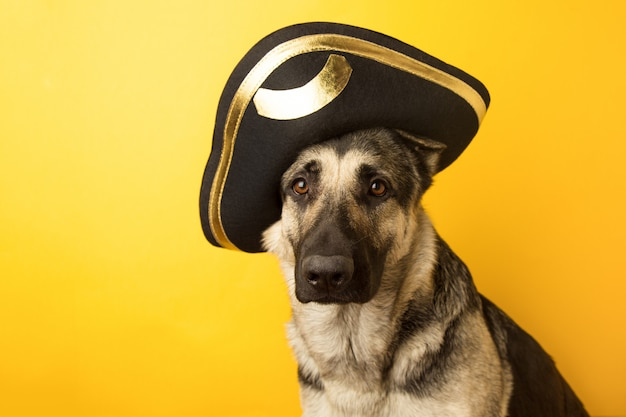 Dog pirate - eastern european shepherd dressed in a pirate ha on