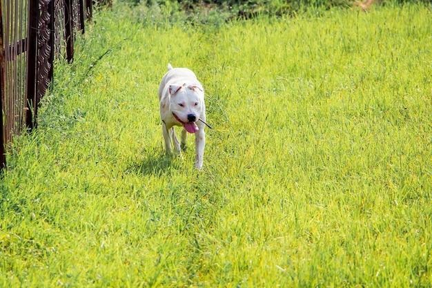 Собака питбуль бежит по зеленой траве к своему хозяину.
