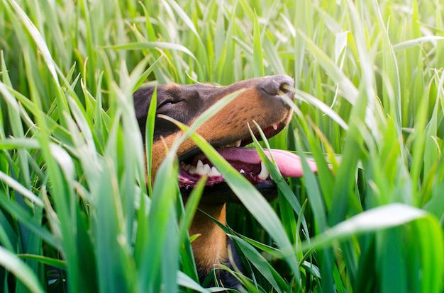 彼の顔に大きな笑顔で芝生で屋外で遊ぶ犬