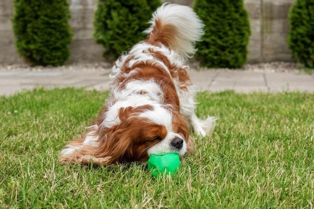 緑の芝生の上で家の外でプラスチックボールで遊んでいる犬。