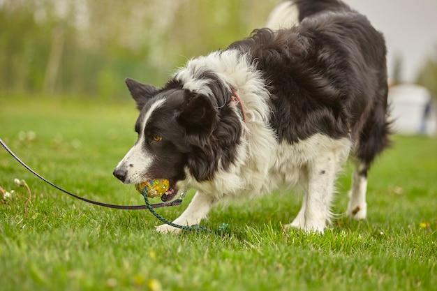 Собака играет с мячом в парке