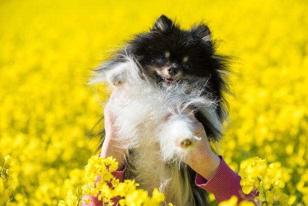 犬のポメラニアンは菜の花の黄色いフィールドにあります
