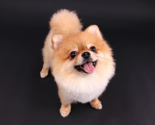 Dog pomeranian.