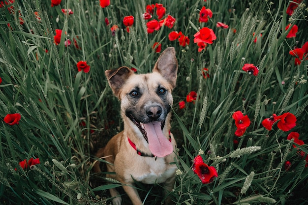 Dog in the poppies
