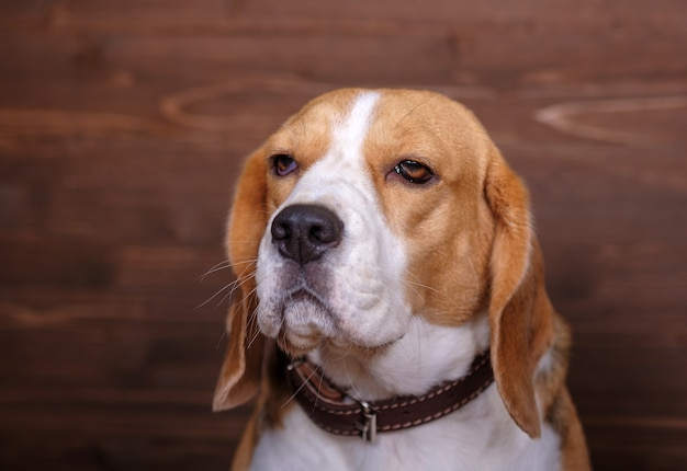 Dog portrait beagle on a brown background of wooden wall