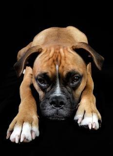 Dog portrait  mastiff