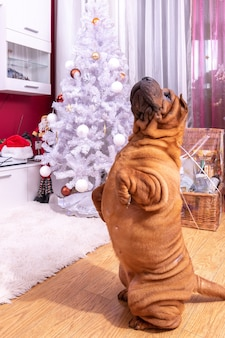 Dog poses near fir tree of decorated new years house in living room at evening. christmas eve concept.