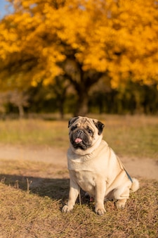 A dog of a pug breed sits in an autumn park on yellow leaves against a background of trees and autumn forest.