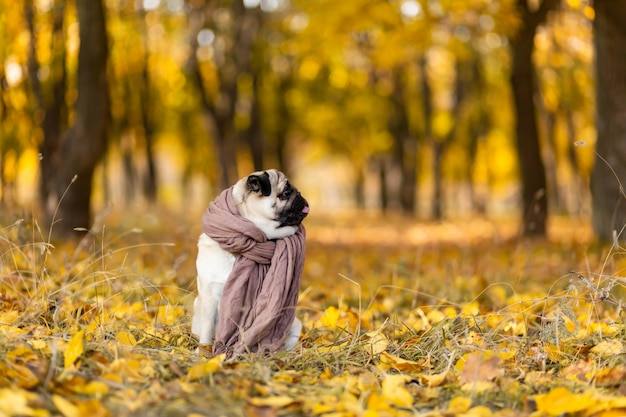 A dog of a pug breed wrapped in a scarf sits in an autumn park on yellow leaves against a  of trees and autumn forest.