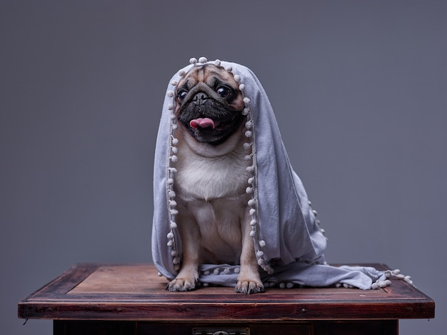 Dog pug covered with a plaid,