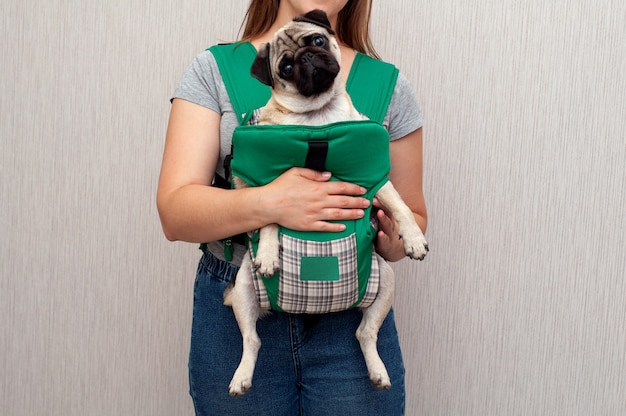 Dog pug sitting in the ergo device babycarrier or sling kangaroo carrier