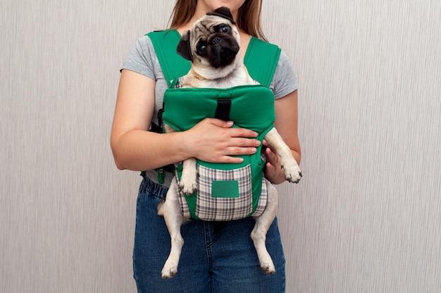 Собака-мопс сидит в переноске-переноске-переноске или слинге-переноске-кенгуру
