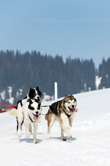 겨울에 고산 산에서 개 경주
