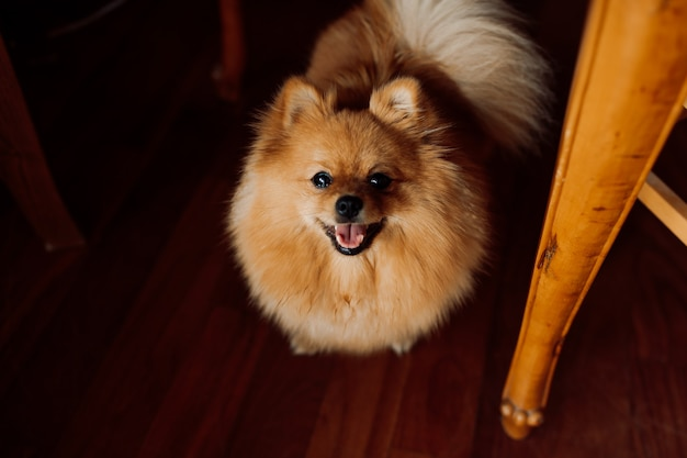 Dog red-headed spitz stands on wooden floor joyfully sticking out his tongue