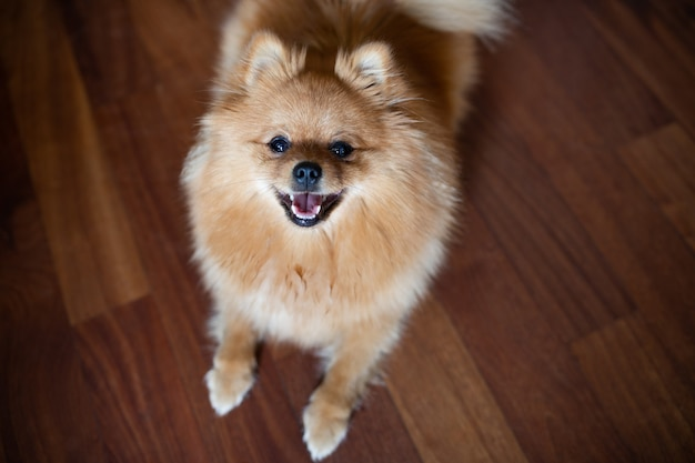 Dog red-headed spitz stands on wooden floor joyfully sticking out tongue