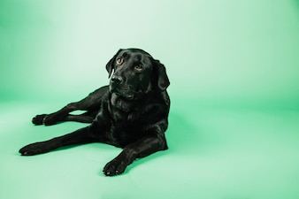 Dog resting on green background