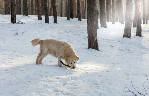 冬の森の犬のレトリーバー