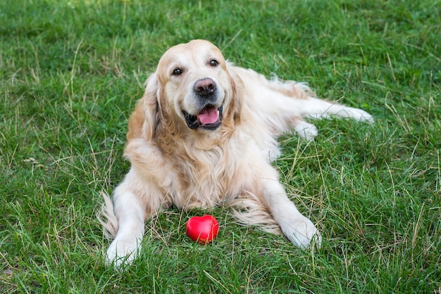 Dog retriever with red heart on the grass in the park.