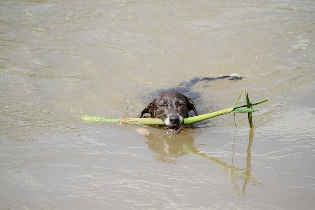 Dog in river swimming with tree branch in mouth