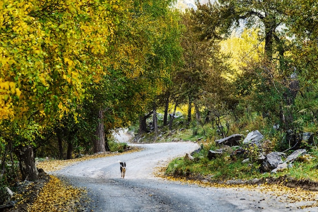 가 숲을 통해 구불구불한 산길을 따라 달리는 개. 러시아, 알타, 출리쉬만 계곡